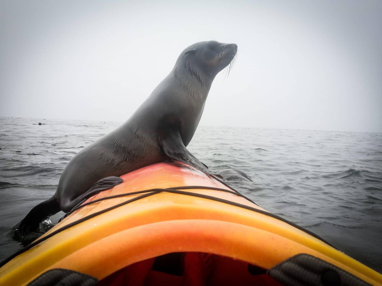 kayak avec les otaries