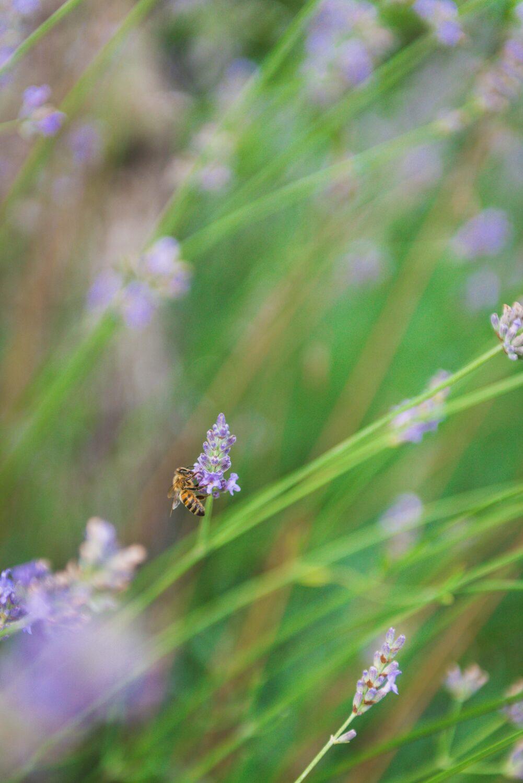 Une abeille dans des brins de lavande.
